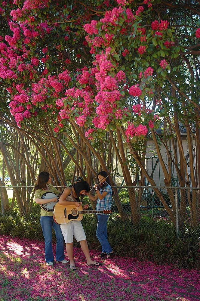 crepe myrtle, three musicians, string trio, summertime, Dallas