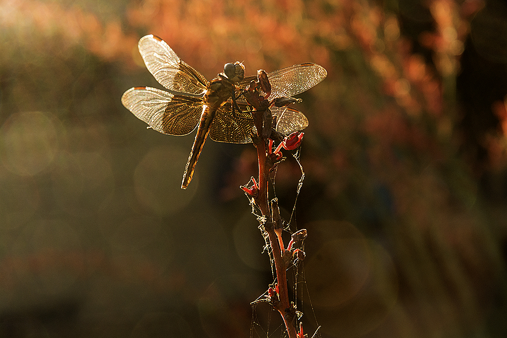Dragonfly, golden sunset, golden moments